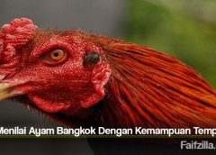Cara Menilai Ayam Bangkok Dengan Kemampuan Tempurnya